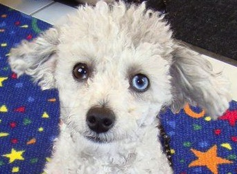 File:Poodle with sectoral heterochromia.jpeg