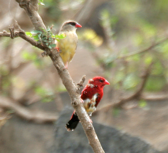 Red Avadavat Pair