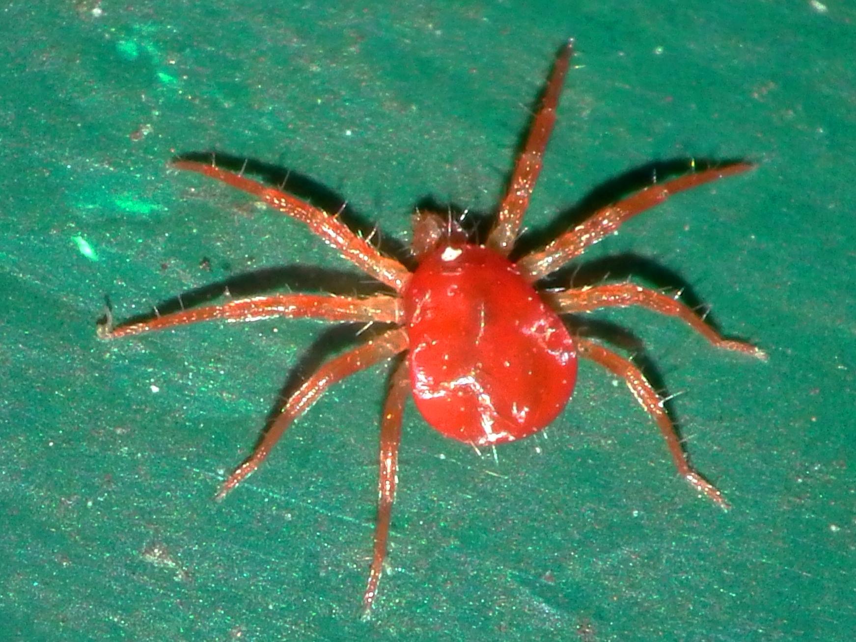 Red spider mites - photo#1