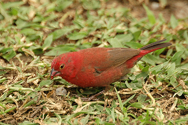 Red-billed Fire-Finch