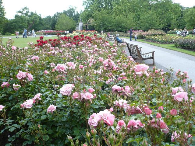 Roses In Garden: File:Rosebeds In Queen Mary's Gardens, Regent's Park
