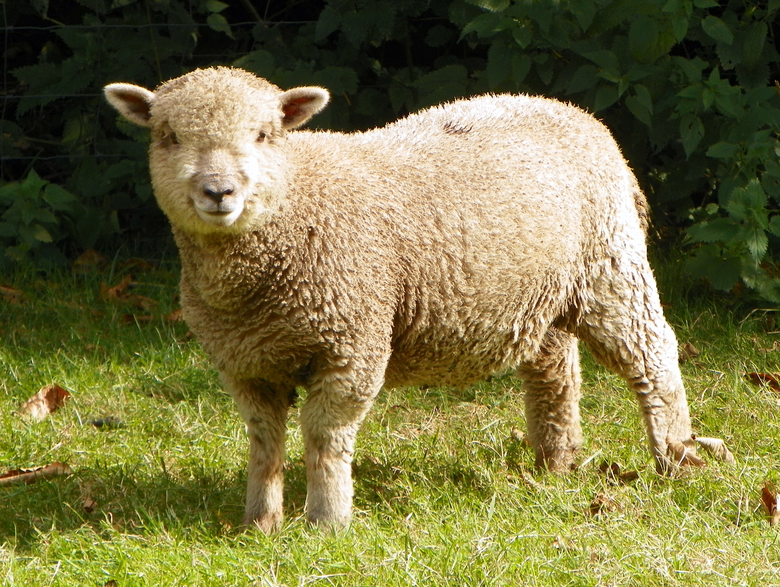 Image Result For Sheep On Farm