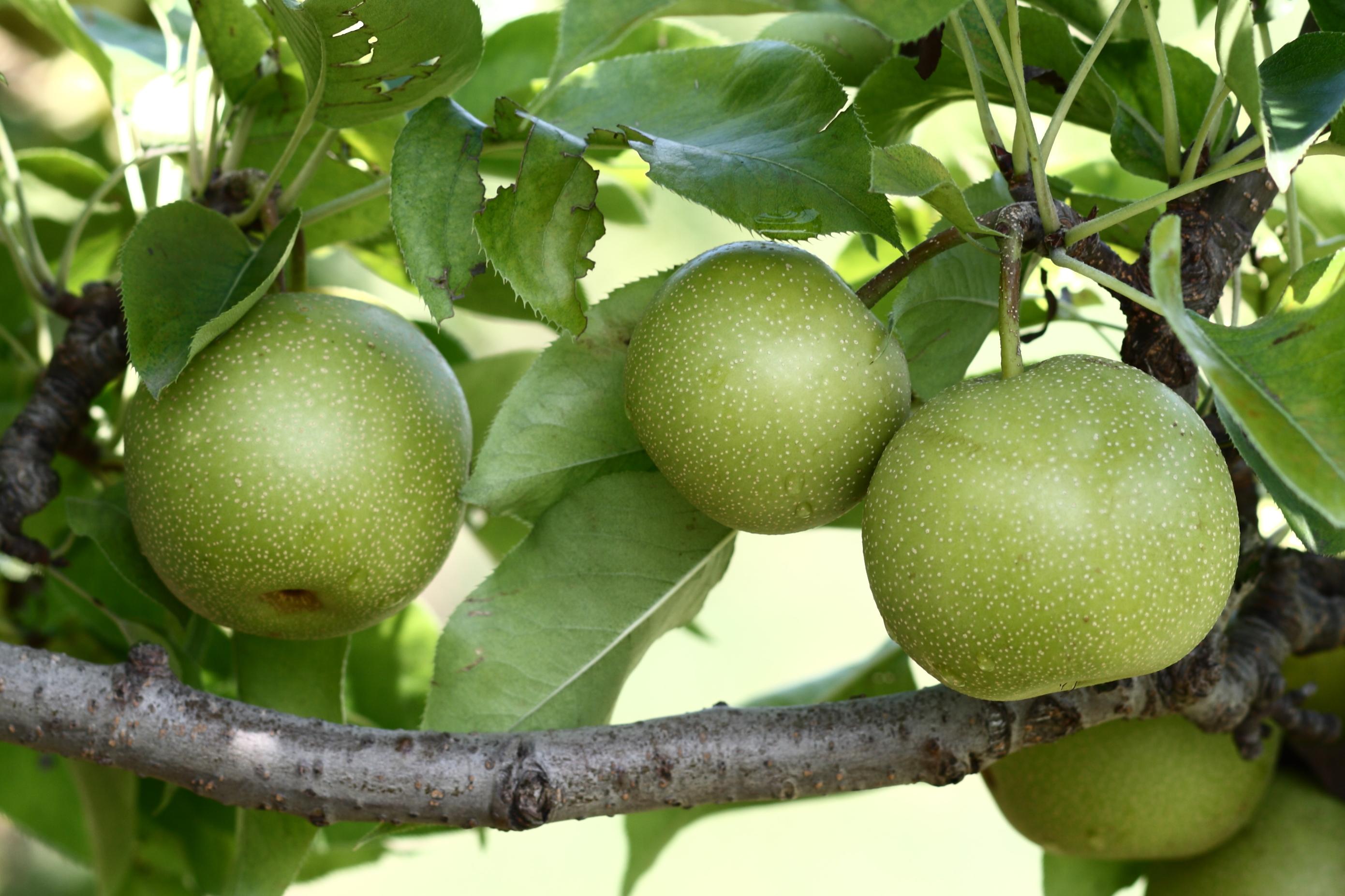 Asian pear nursery please the