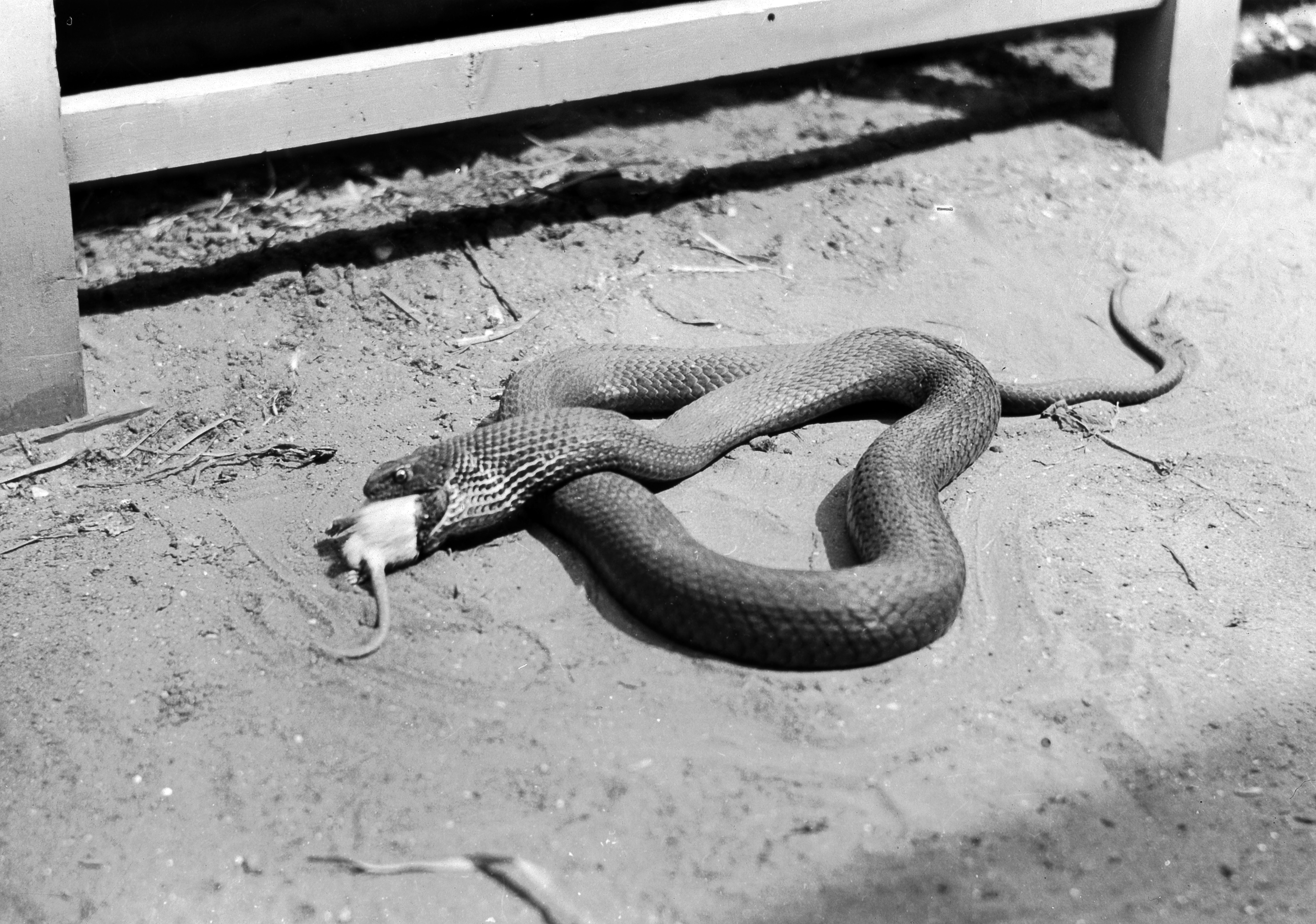 Description Snake eating mouse.jpg