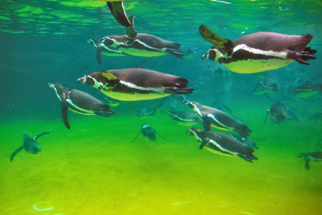 Penguins swimming in brightly lit water