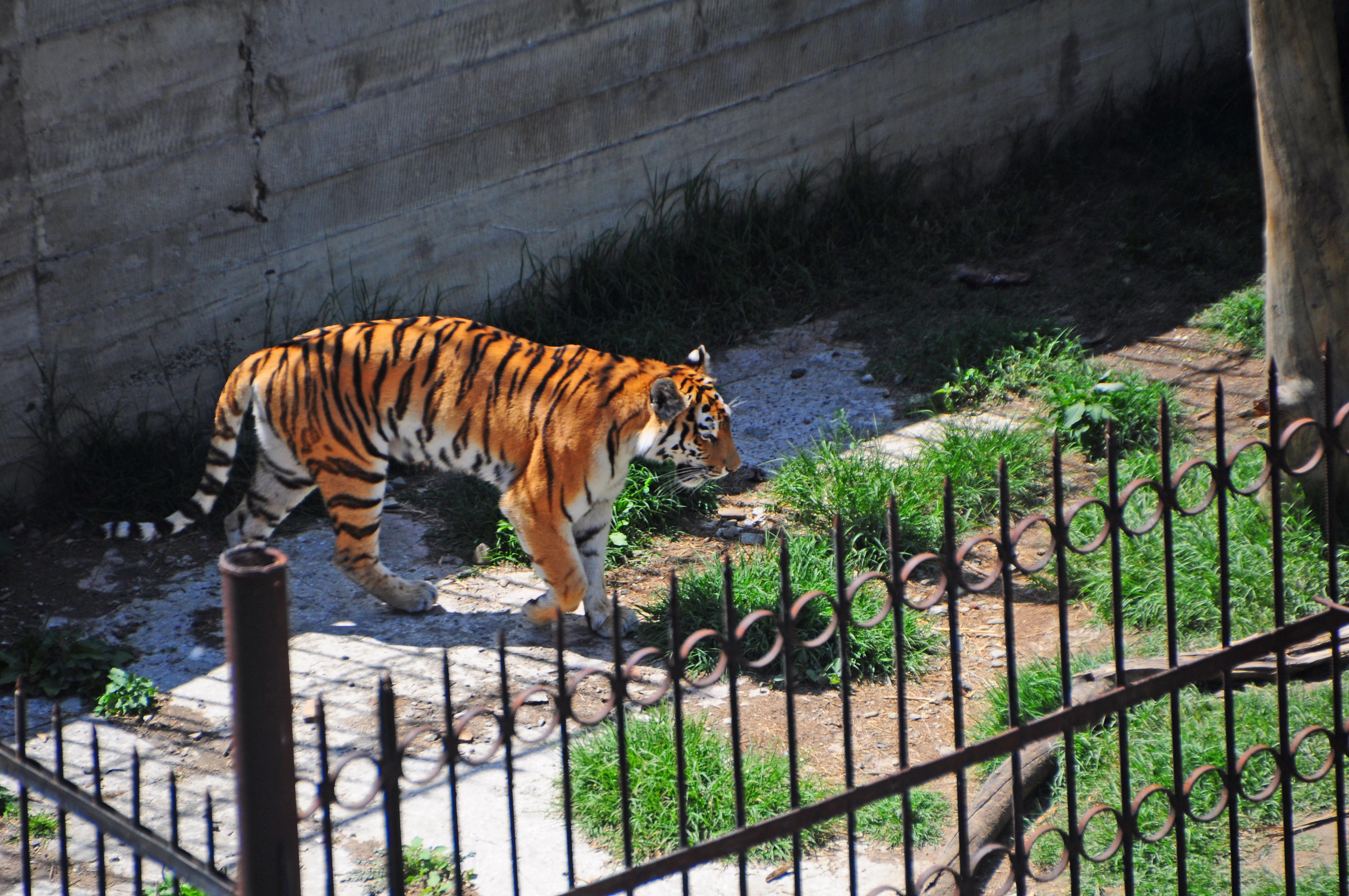 FileTbilisi zoo tigerjpg  Wikimedia Commons