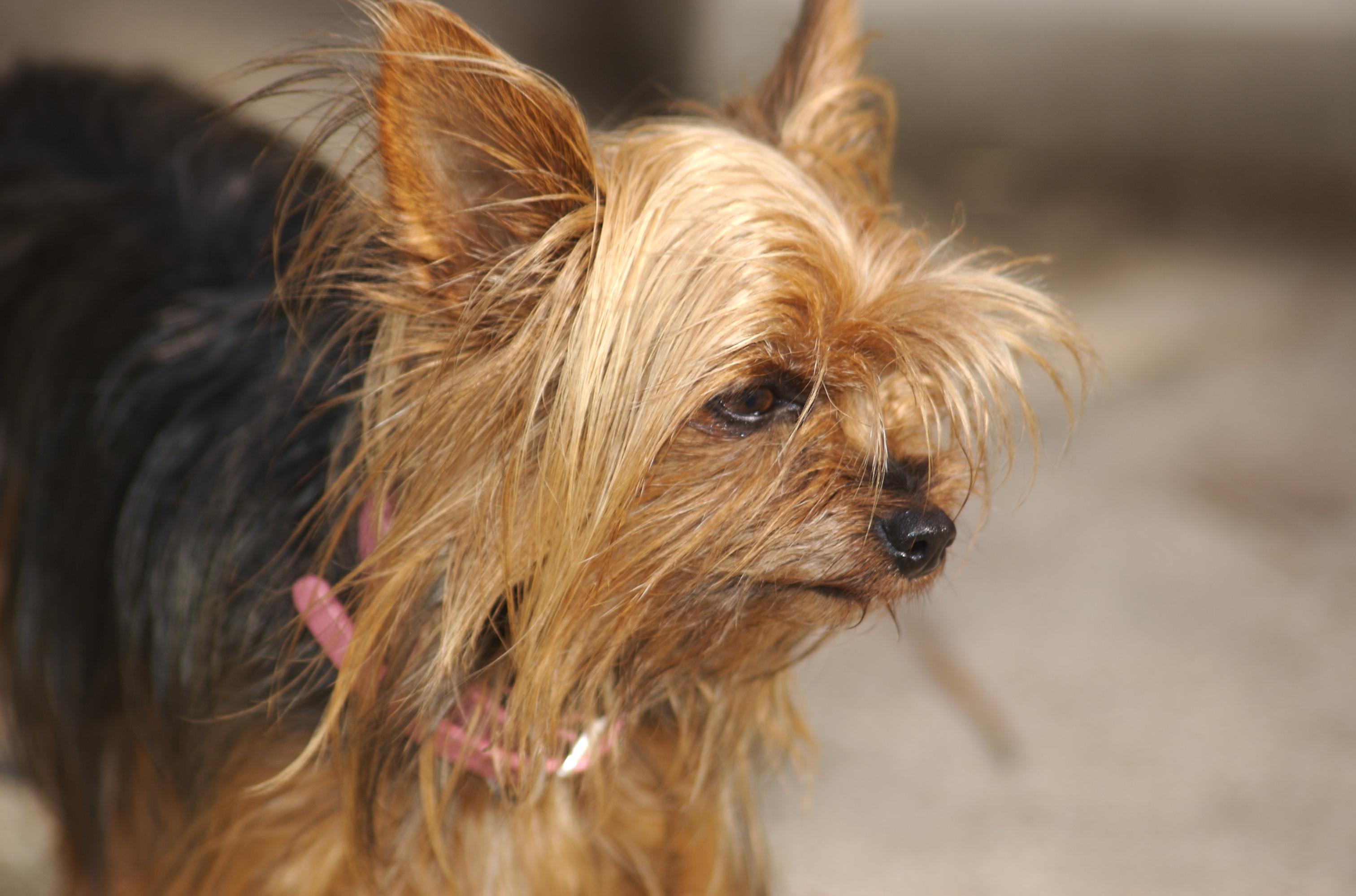 Yorkshire Terrier Kidney Failure File:Teacupyorkie2.jpg...