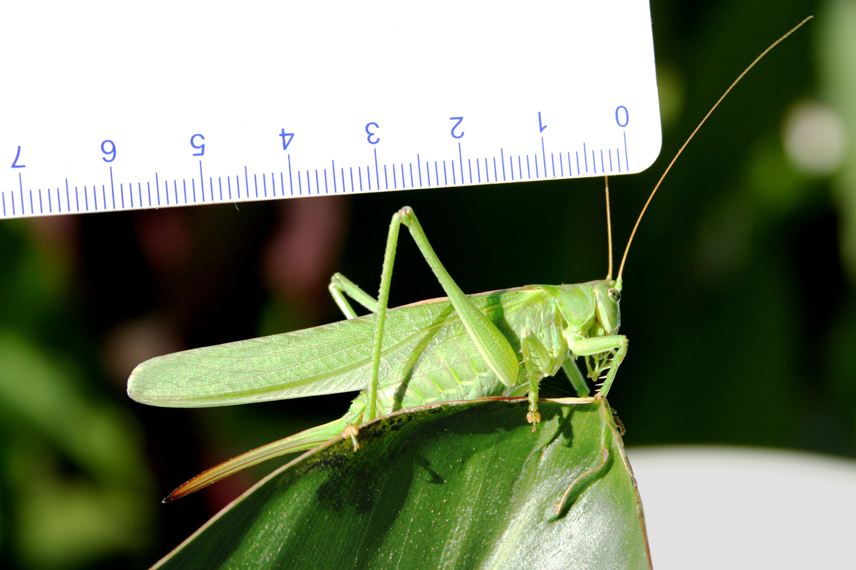 Green cricket scientific name