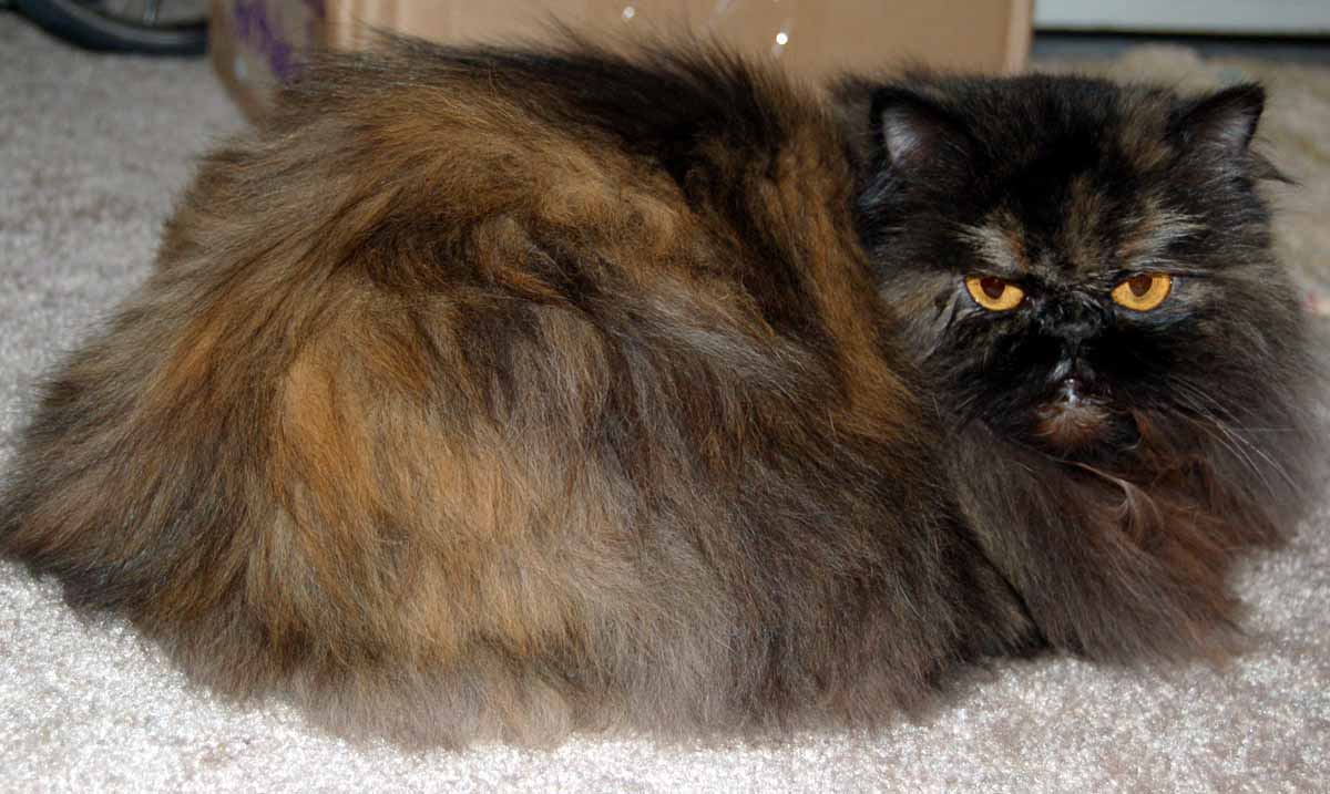 File Tortishell Persian Cat Wikimedia mons