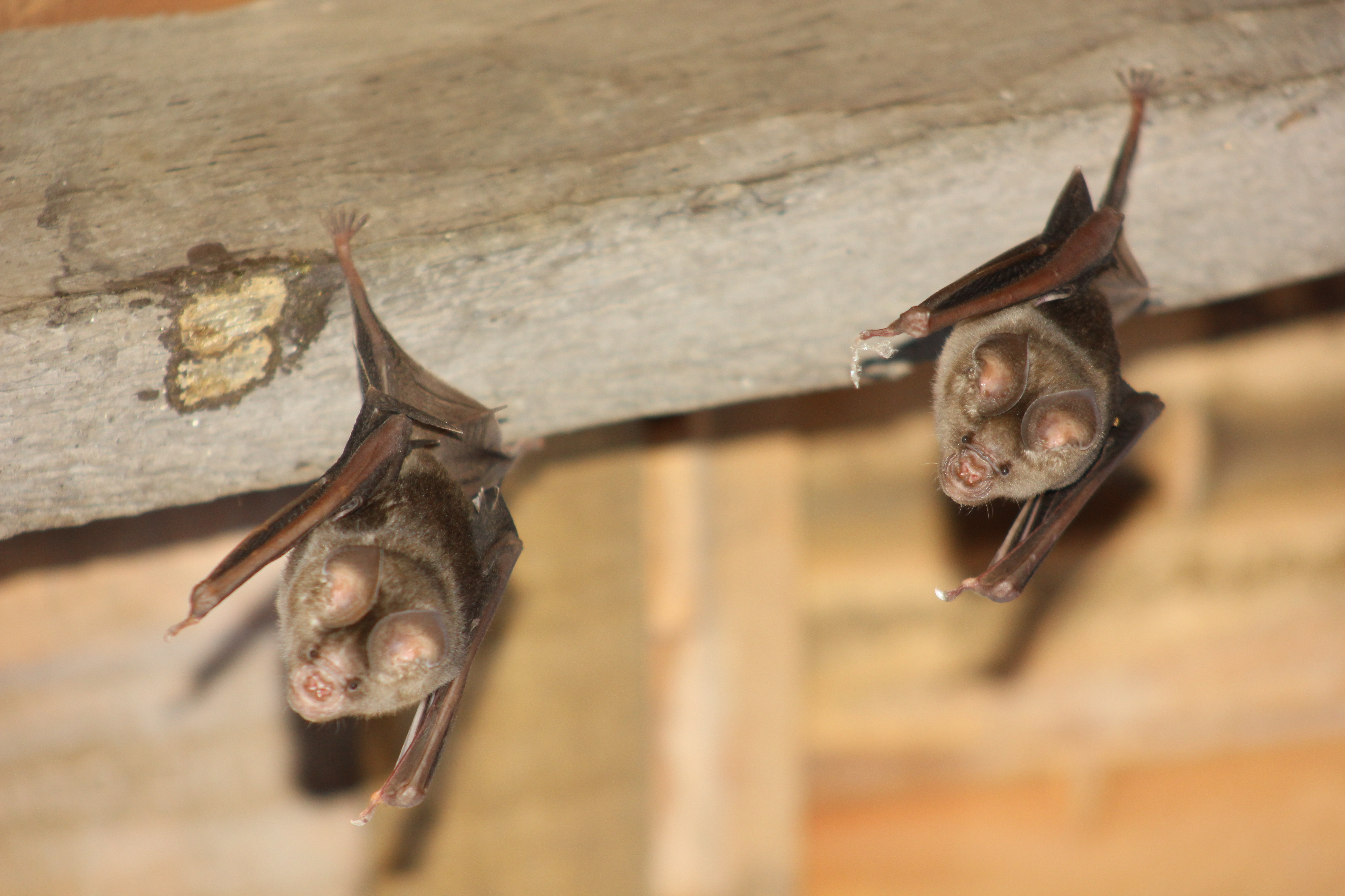 File Two Bats Clutching Onto The Ceiling Jpg