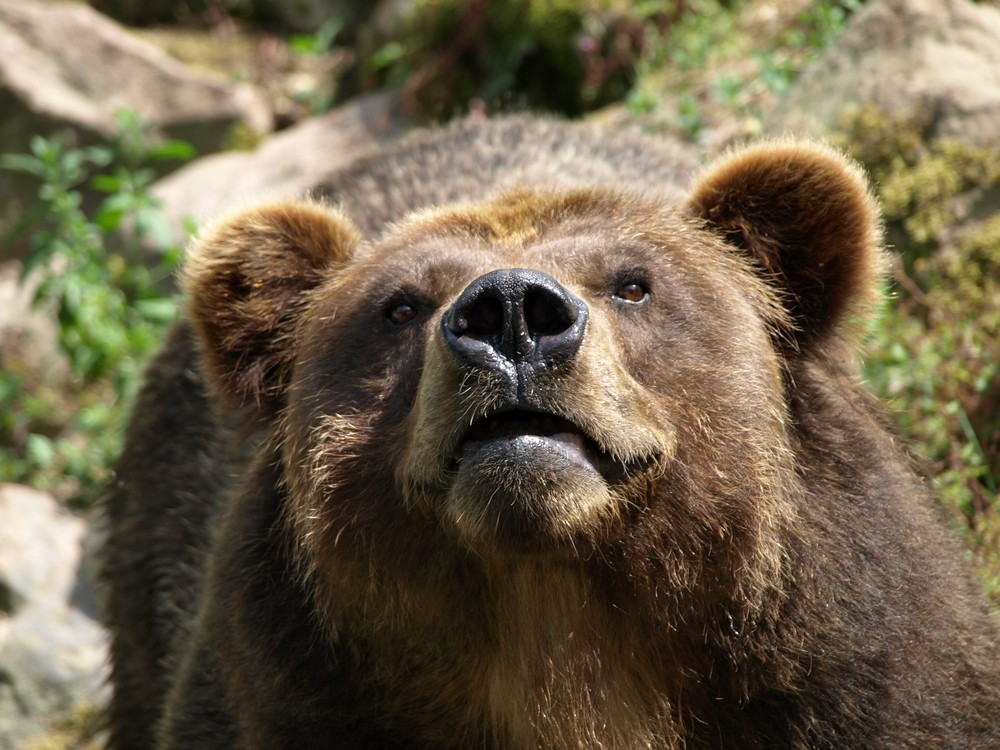 http://upload.wikimedia.org/wikipedia/commons/c/c4/Ursus_arctos_horribilis_Medv%C4%9Bd_grizzly_ZOO_D%C4%9B%C4%8D%C3%ADn.jpg
