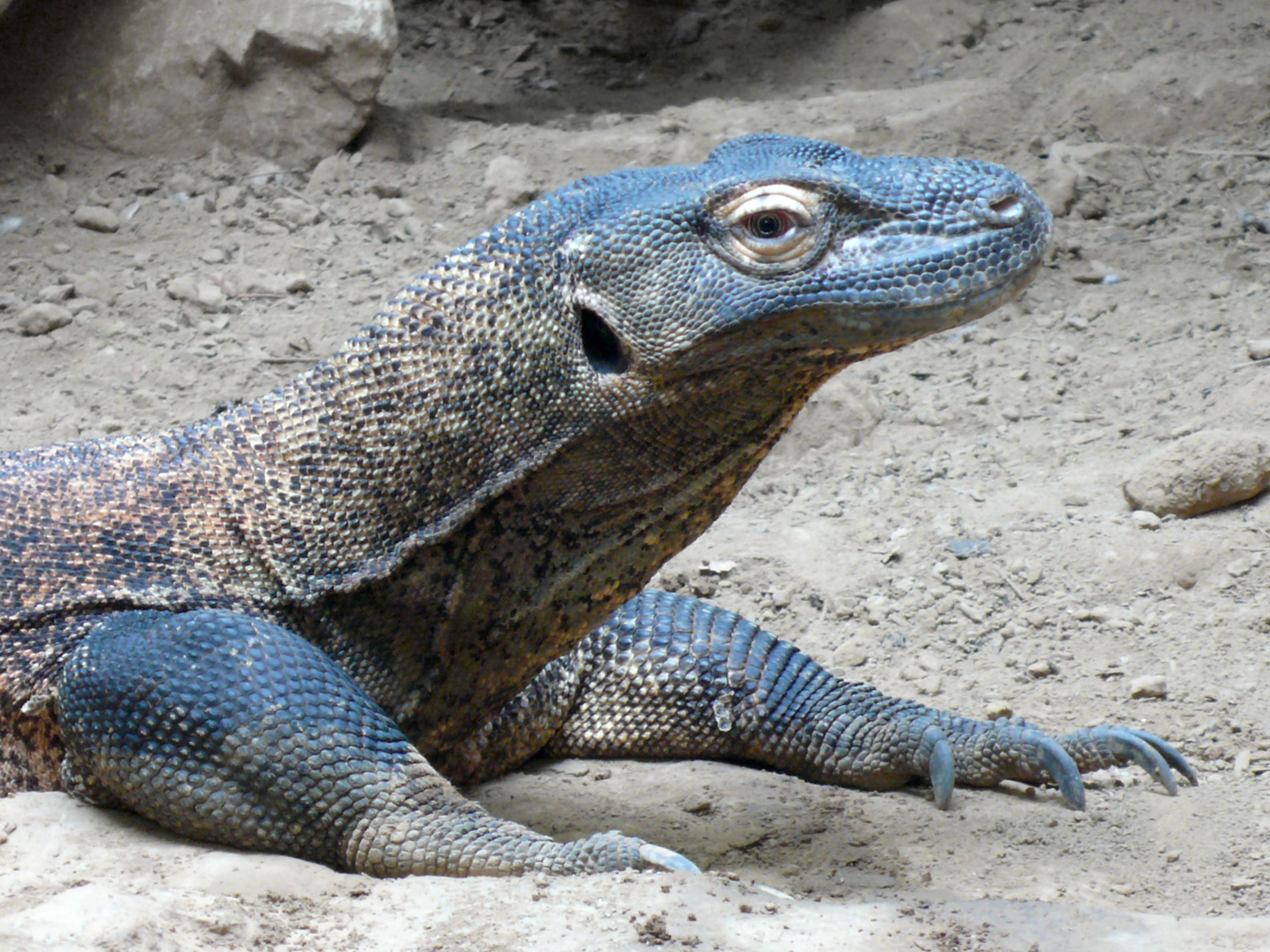 Komodo Dragon Wikipedia: File:Varanus Komodoensis (1) Ed.jpg
