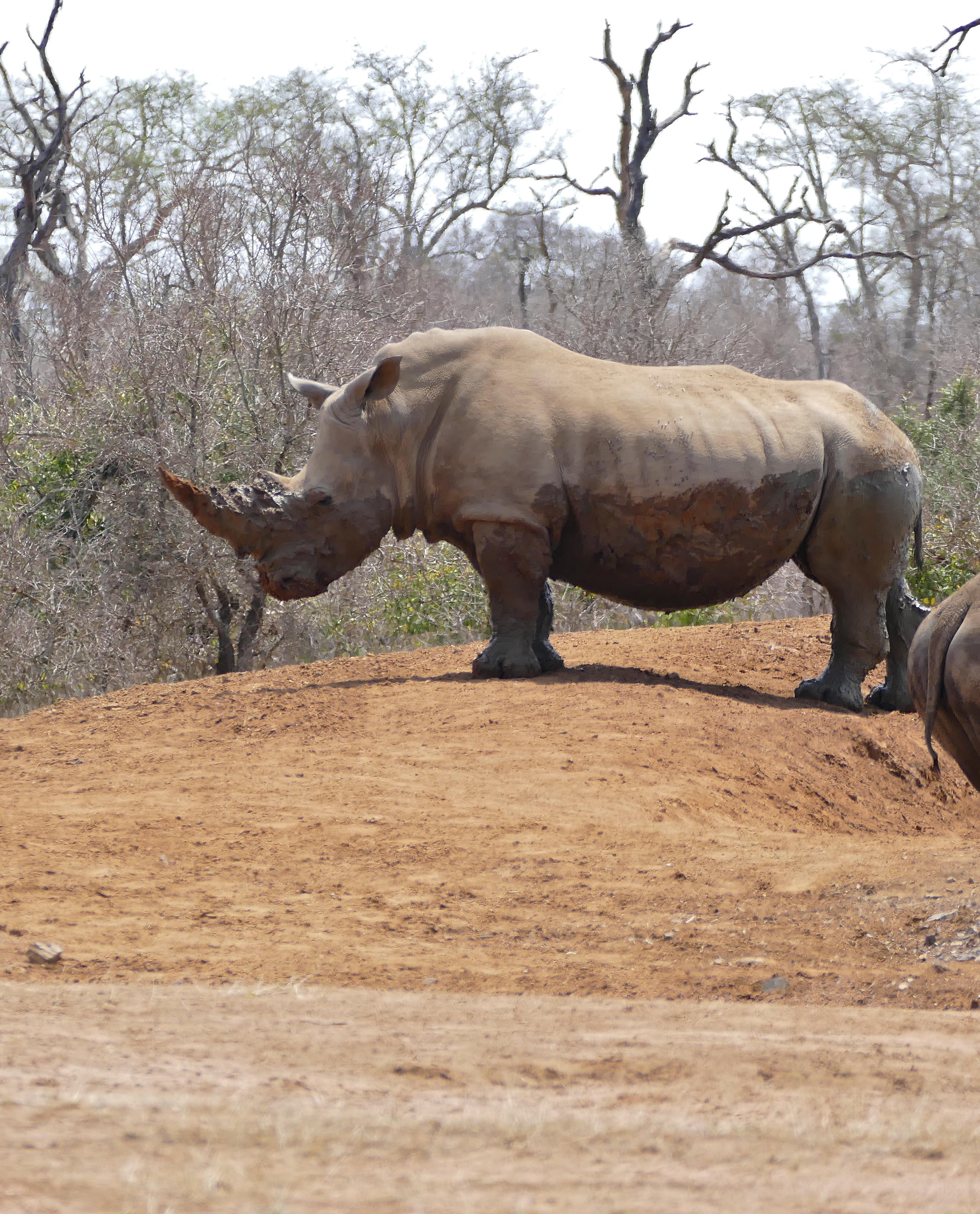 File:White Rhino (Ceratotherium simum) (32456765856) jpg