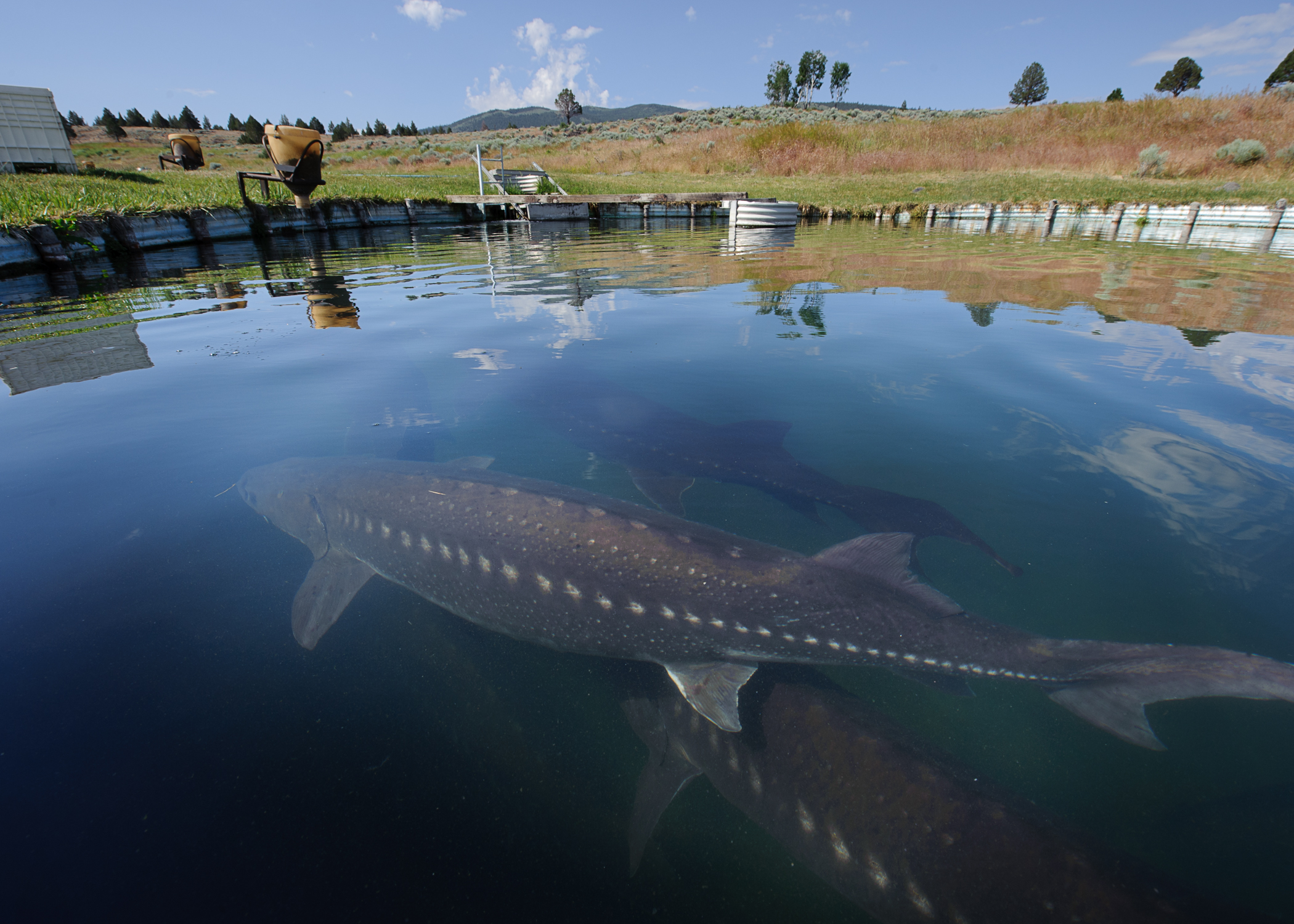 white sturgeon farming in california thalassophobia