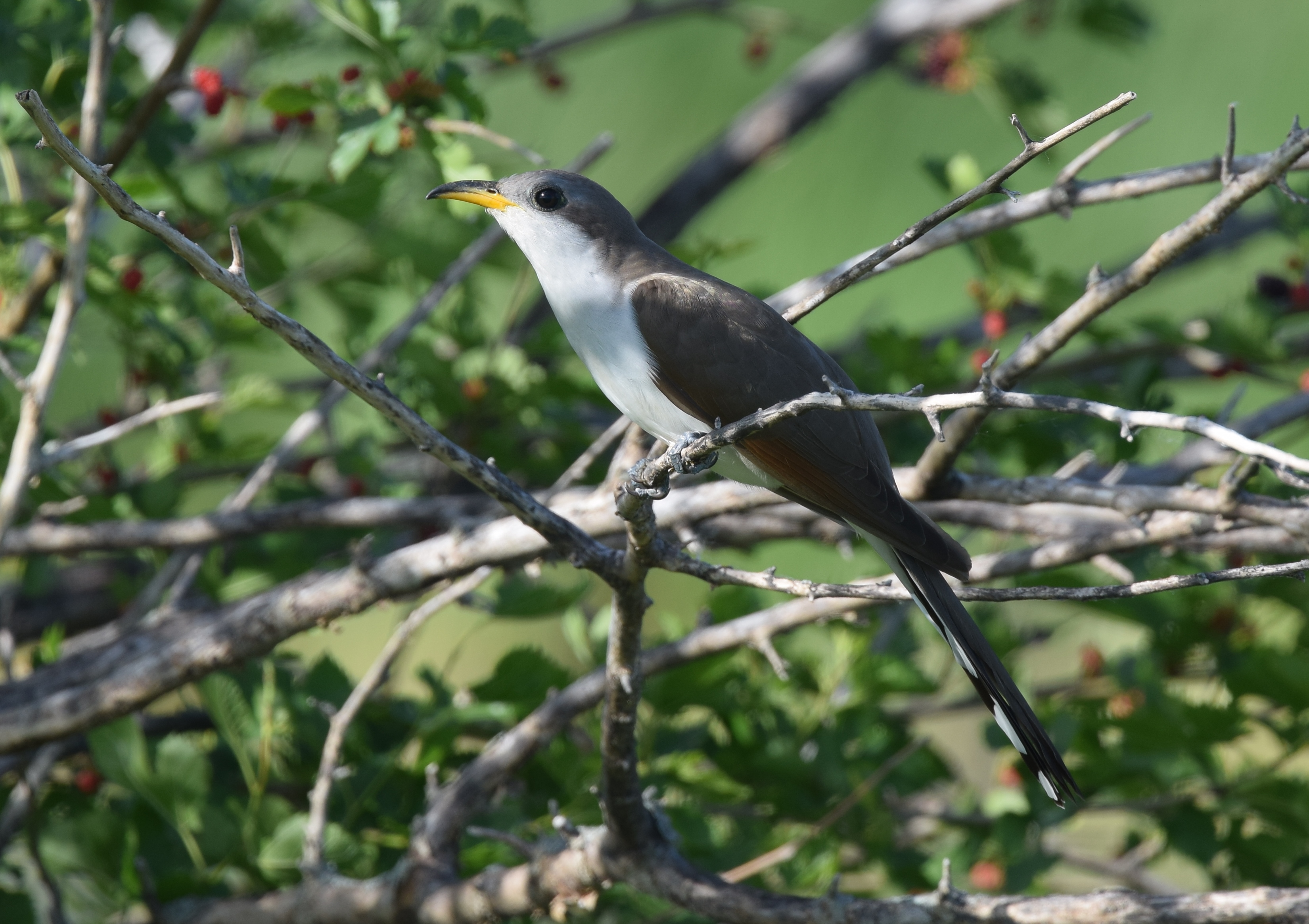 FileYellow Billed Cuckoo 34996516076