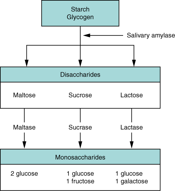 Program For Flow Charts: 2427 Carbon Digestion.jpg - Wikimedia Commons,Chart