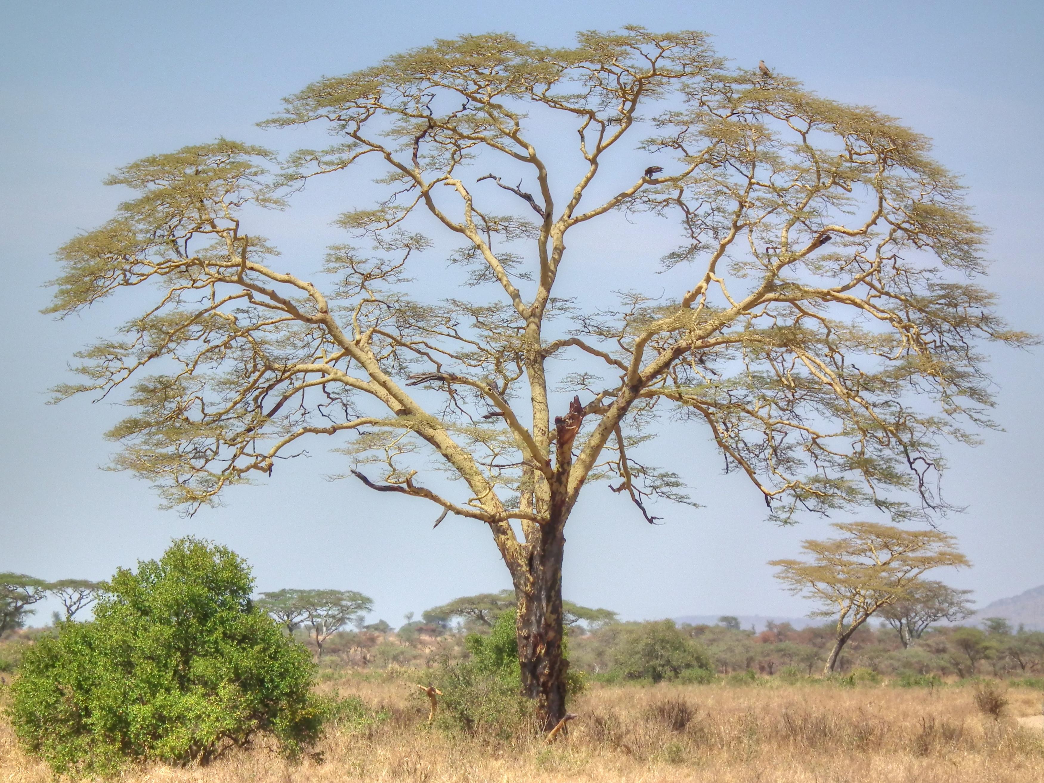 дерево ситтим фото каркас имеет
