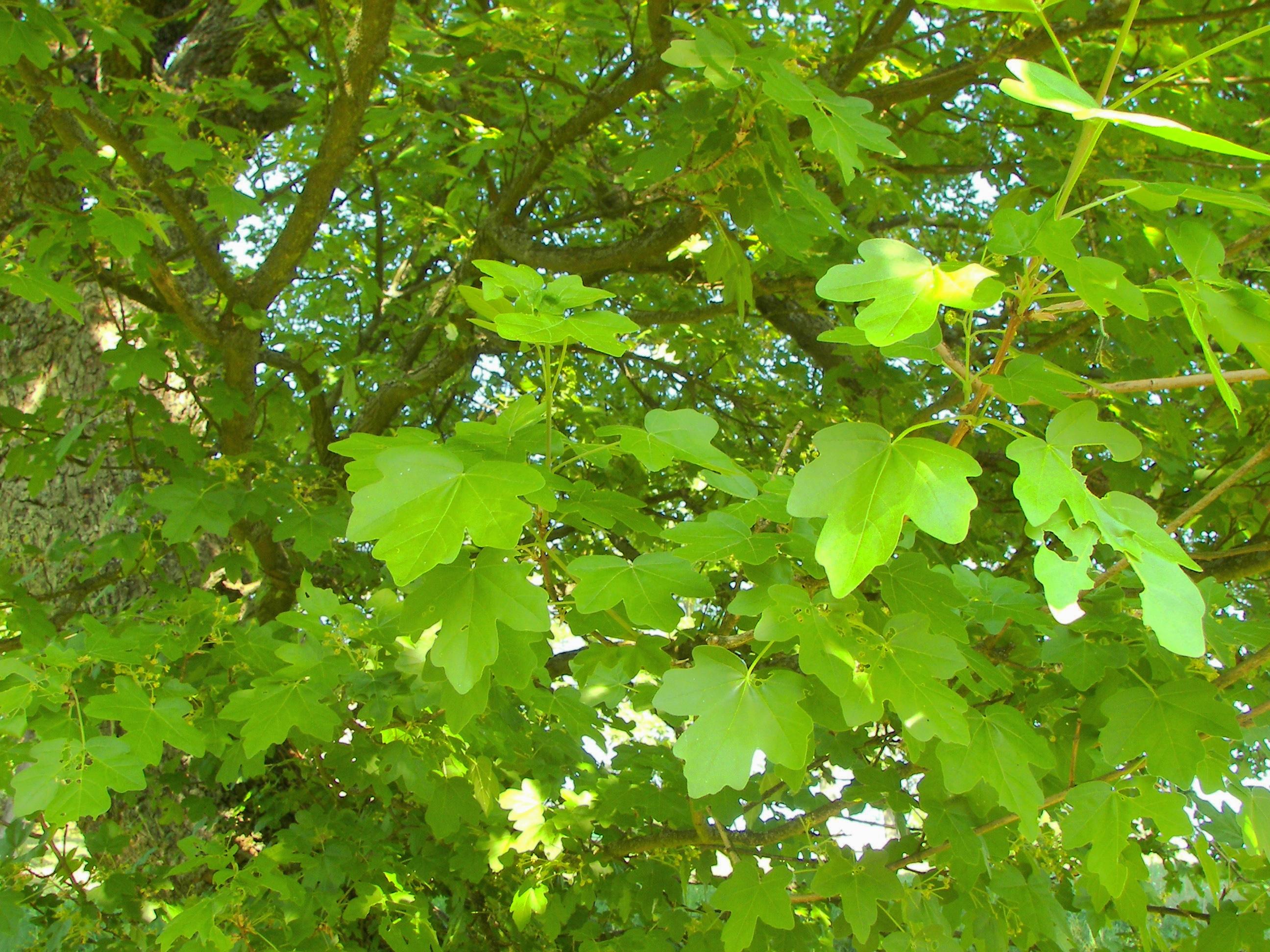 Perchè Acero Rosso Diventa Verde alberi – passeggiandoinbicicletta.it
