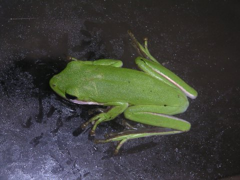 File:American green tree frog 1.