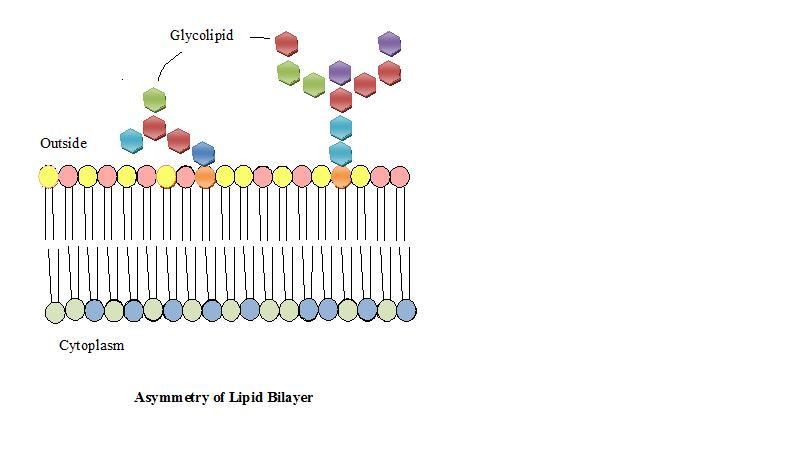 Structural Biochemistrylipidsmembrane Lipids Wikibooks Open