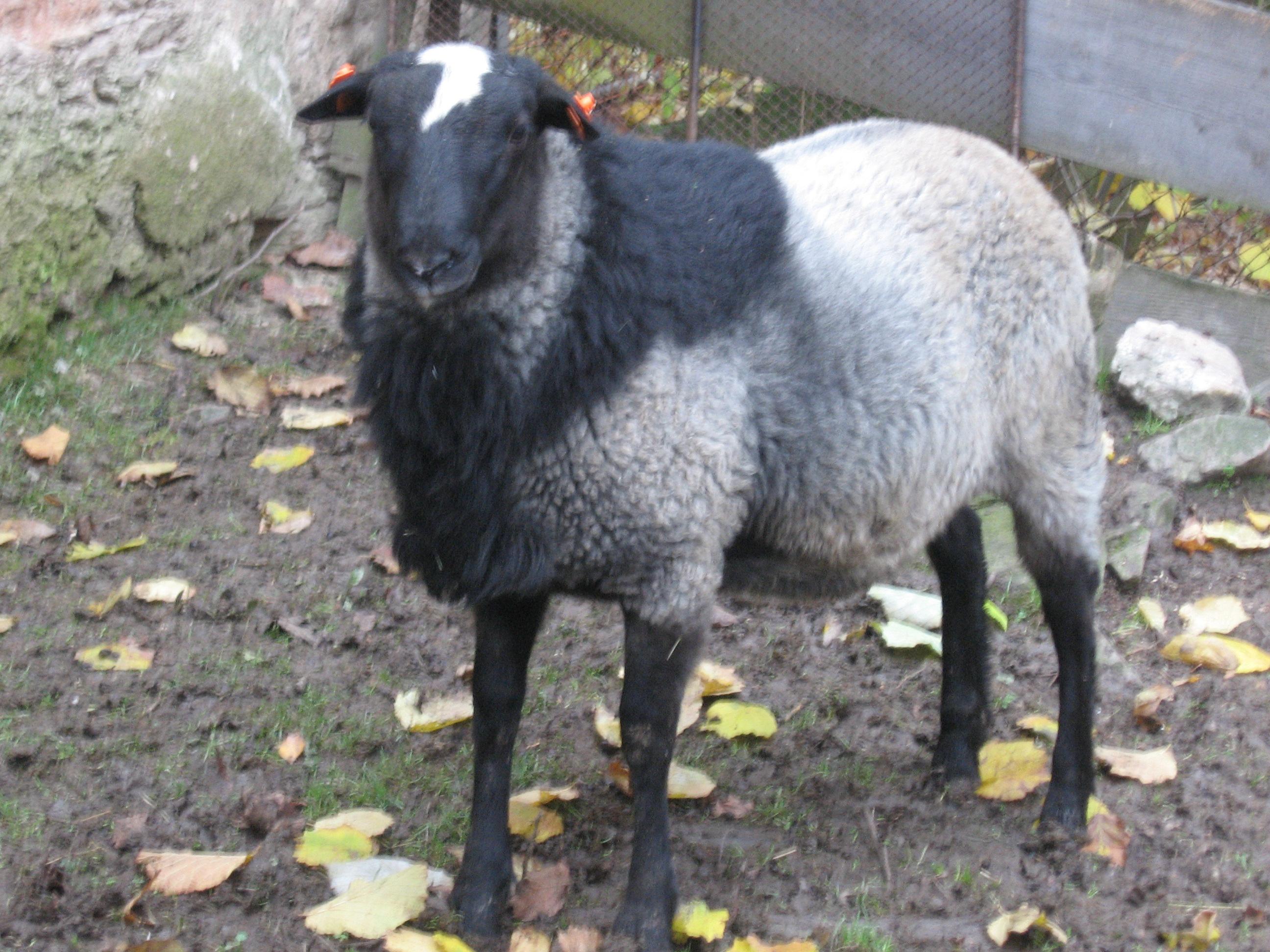 романовские овечки