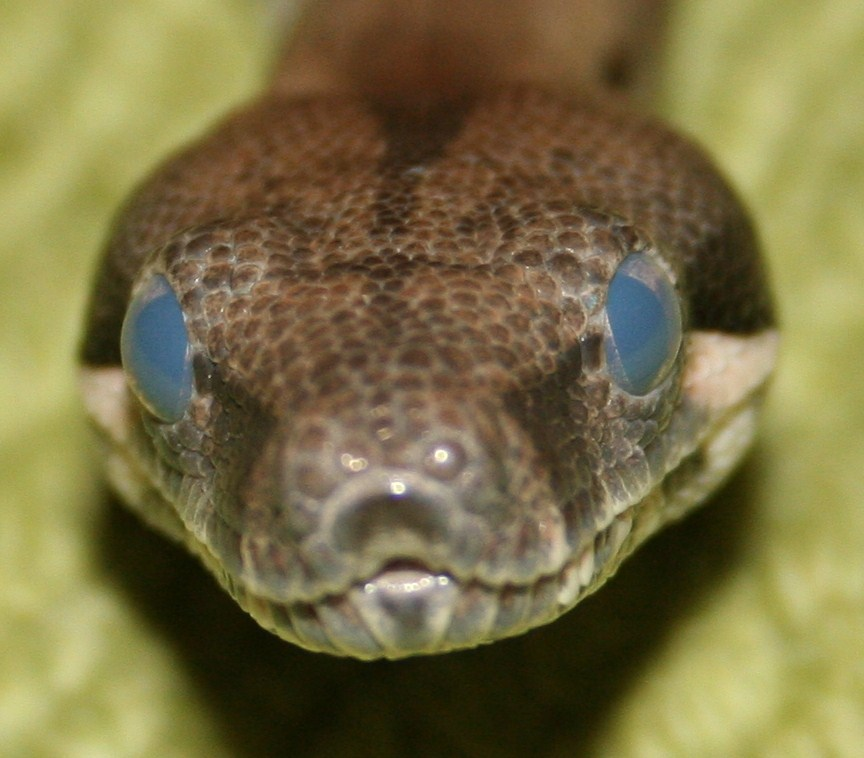 File Boaconstrictor Shed Front Jpg Wikimedia Commons