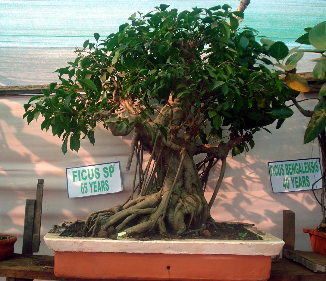 Bonsai Tree Mar 14 2013 100938 Images Search Gallery
