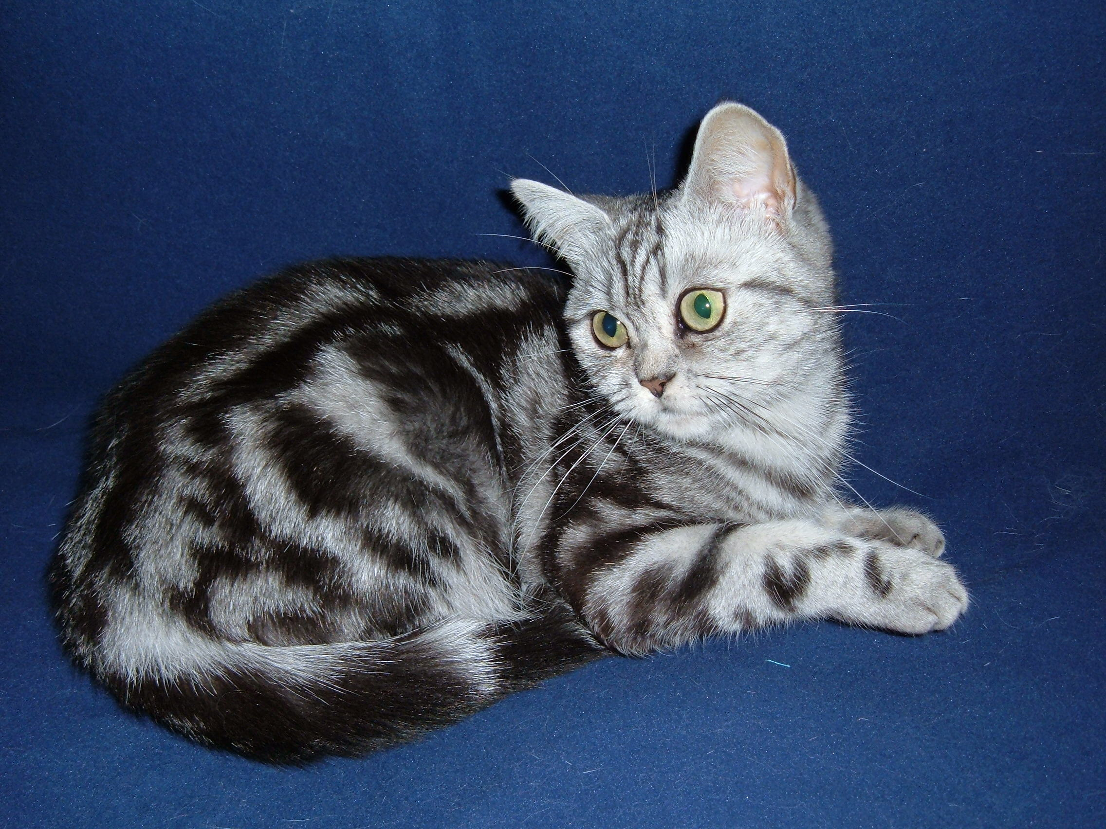 File British Shorthair Classic Tabby Jpg Wikimedia Commons