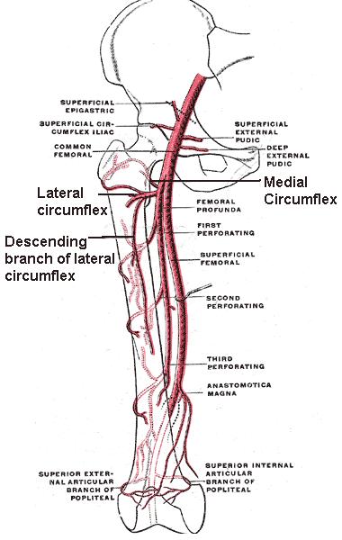 Medial Circumflex Femoral Artery Circumflex femoral arteries