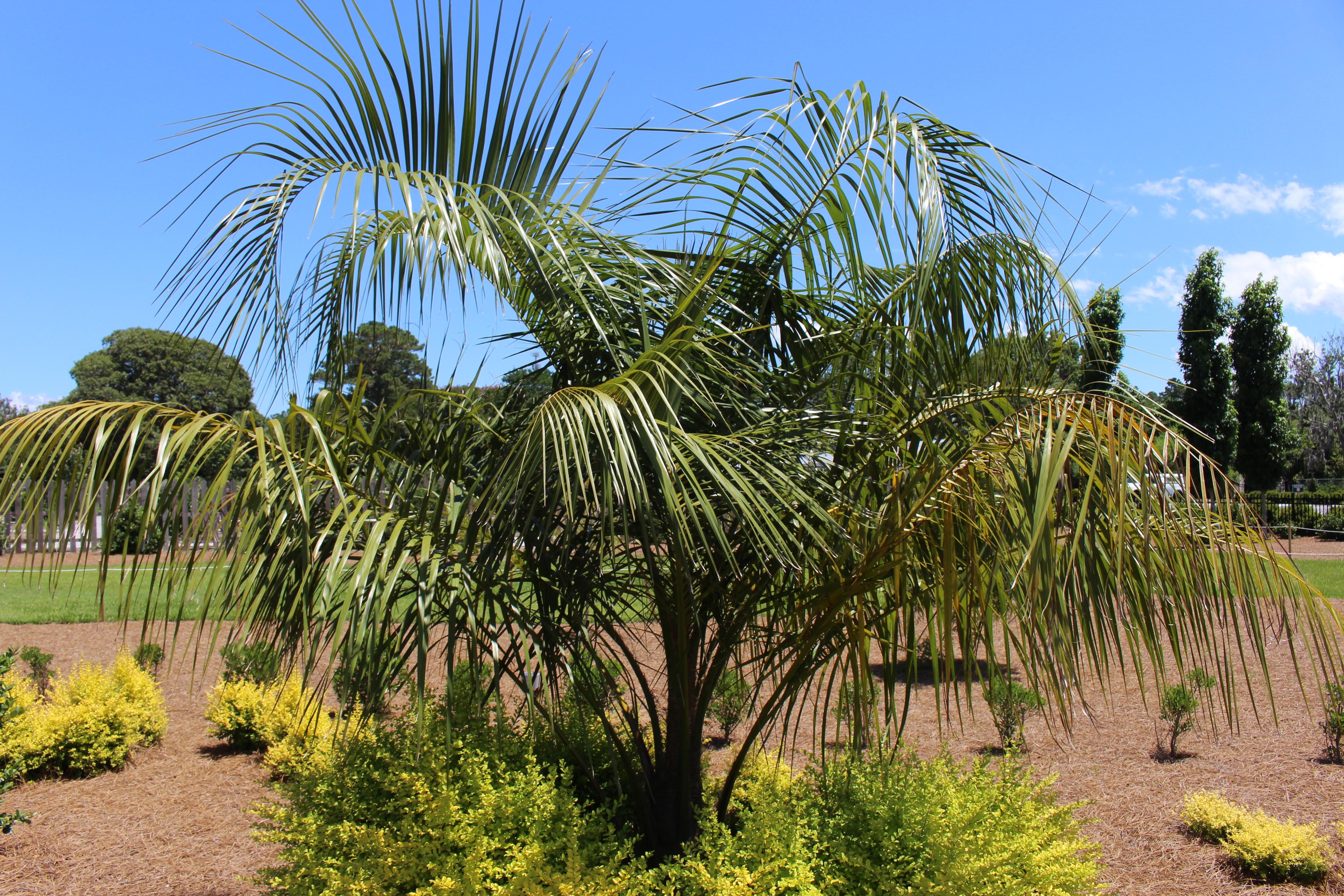 File Coastal Georgia Botanical Gardens Mule Palm X Butiagrus Wikimedia Commons