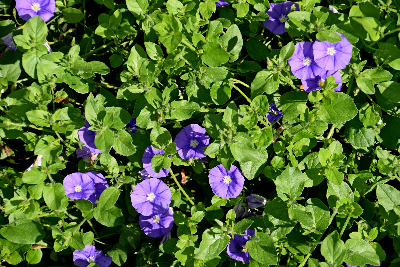 File Convolvulus sabatius Blue Cascade in Jardin des Plantes de