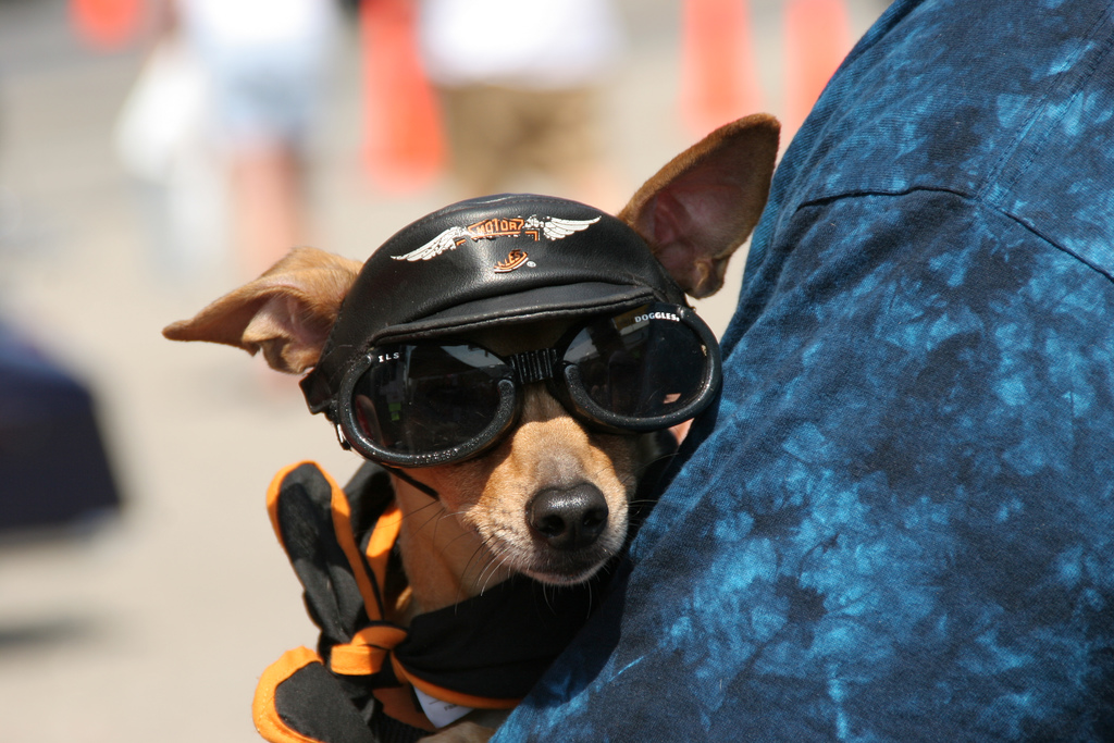 biker chihuahua wearing doggles sunglasses