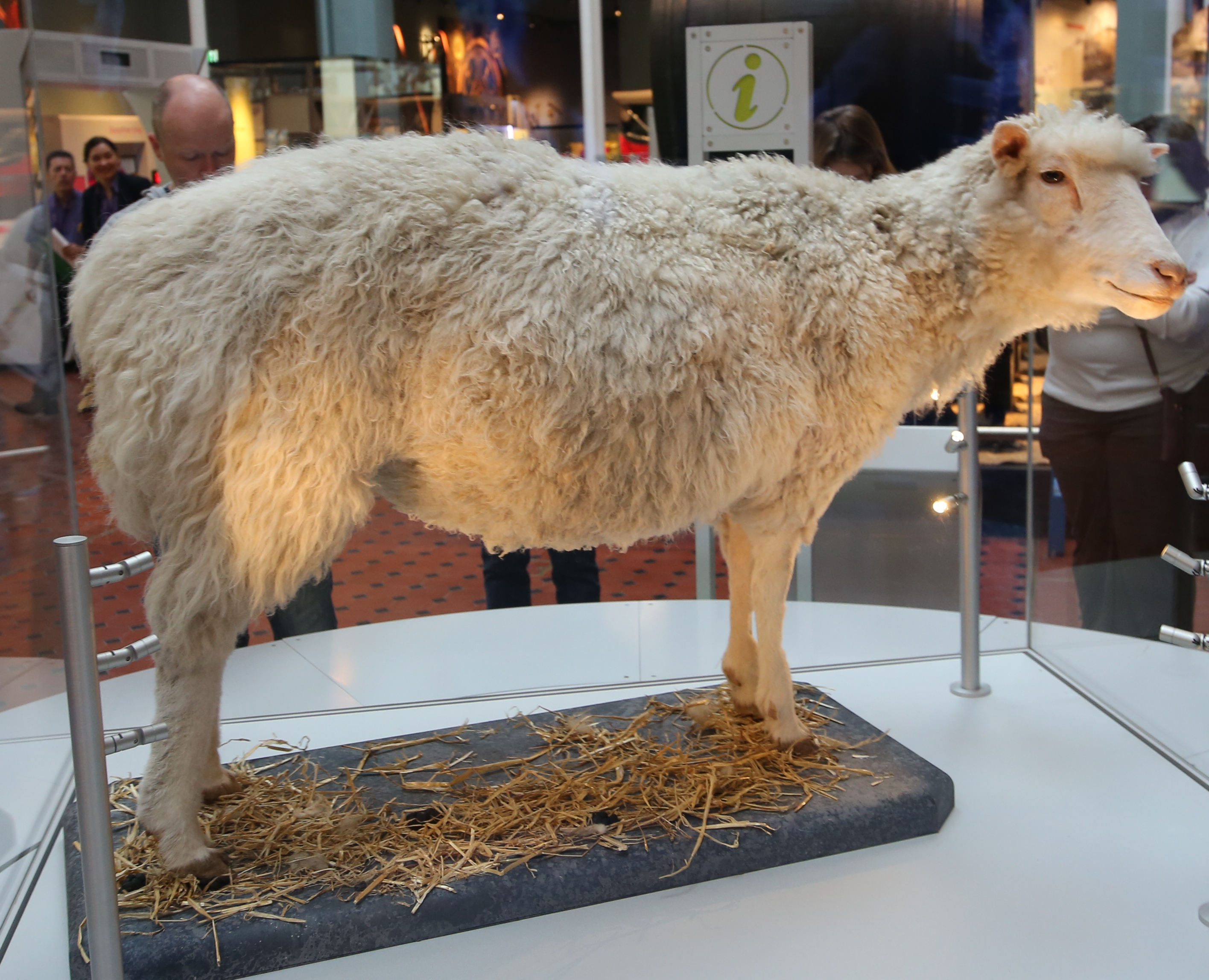 Dolly (sheep)