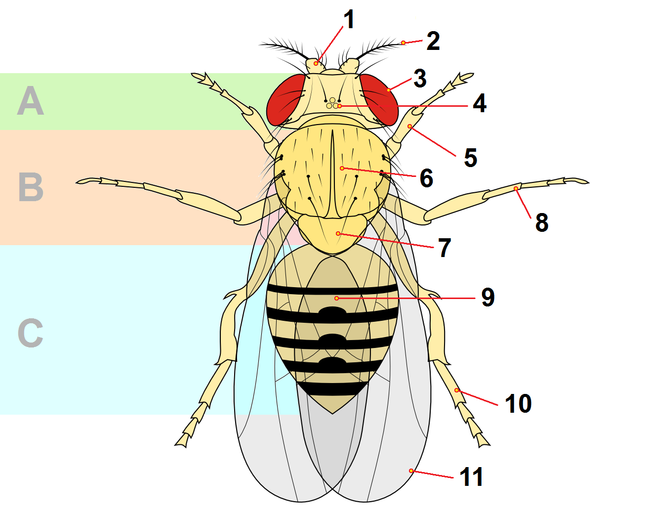 File:Drosophyla anatomy tagged.png - Wikimedia Commons