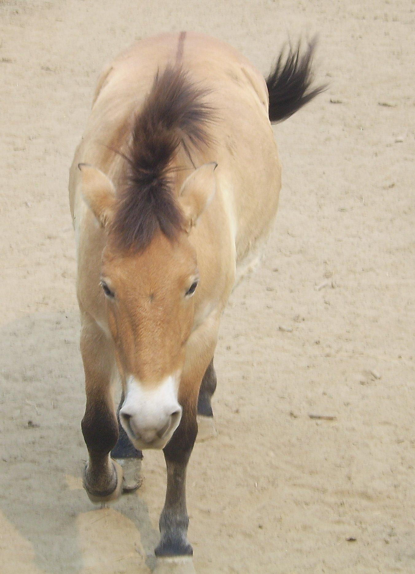 Equus przewalskii-Beijing.jpg
