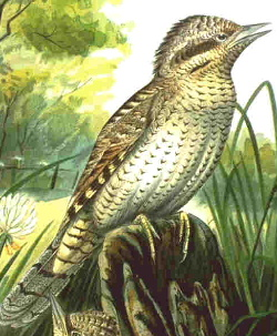 Wryneck group of small woodpeckers of the genus Jynx