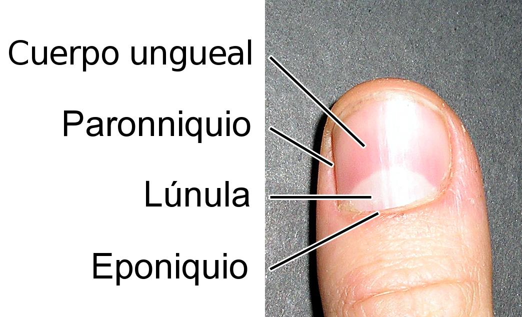 Lúnula (anatomía) - Wikipedia, la enciclopedia libre