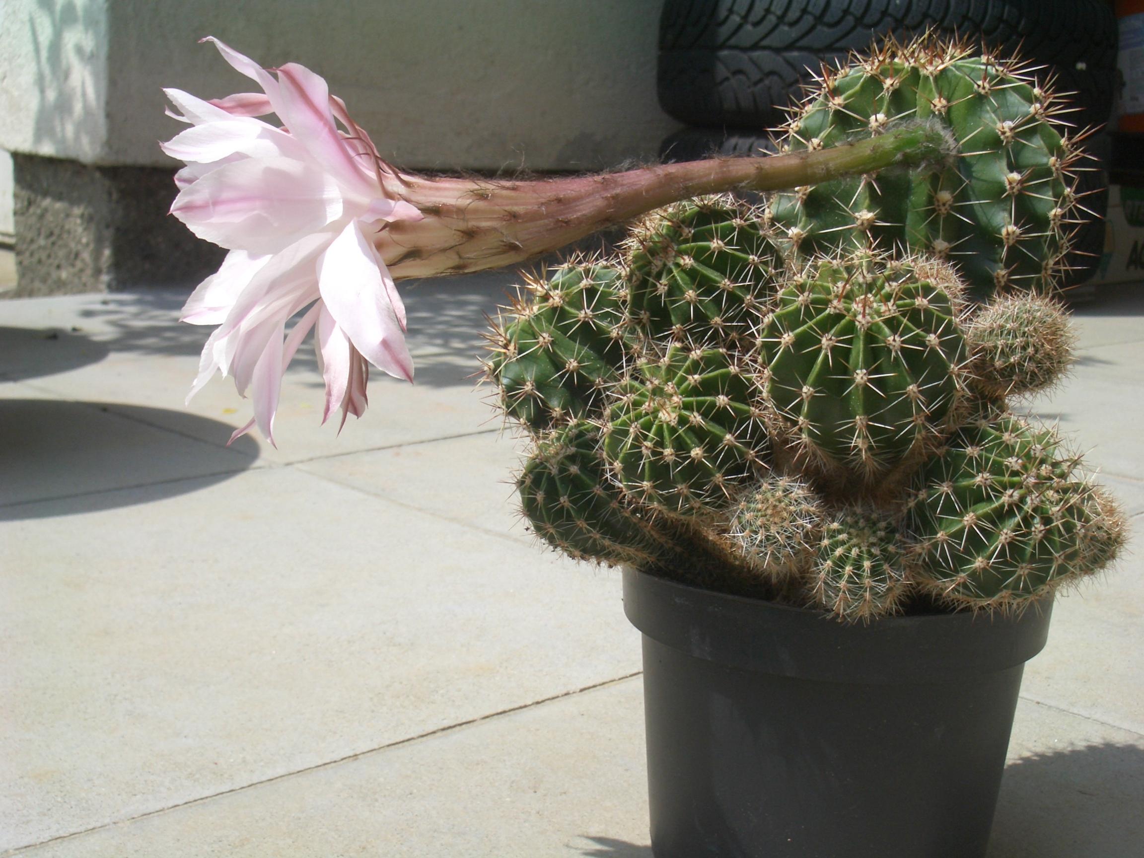 Types Flowering Cacti