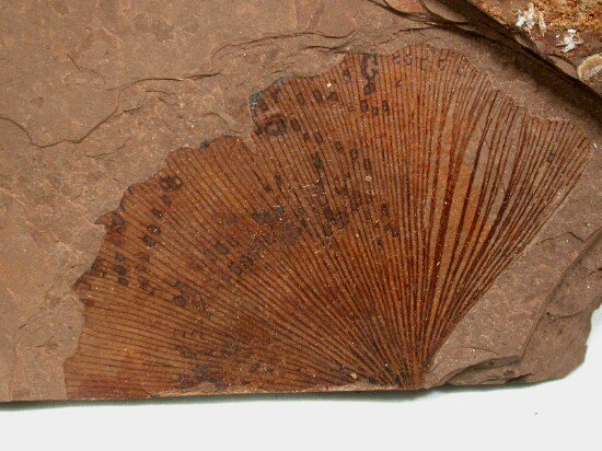 Fossil. Photo