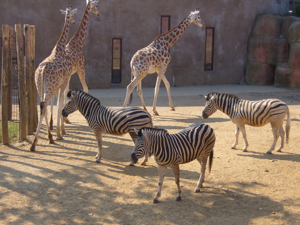 File:Giraffes and Zebr...