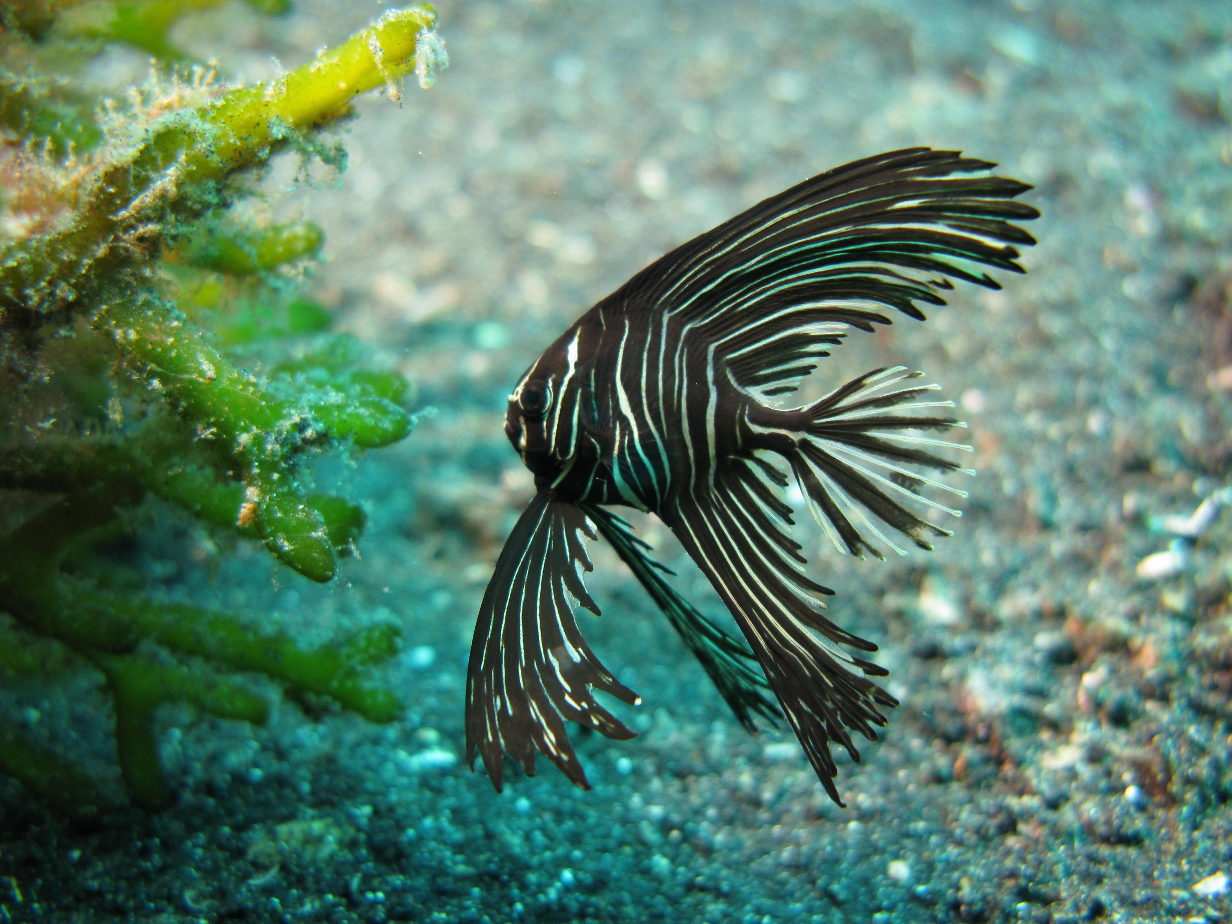 the red lip batfish pinnate batfish zebra batfish