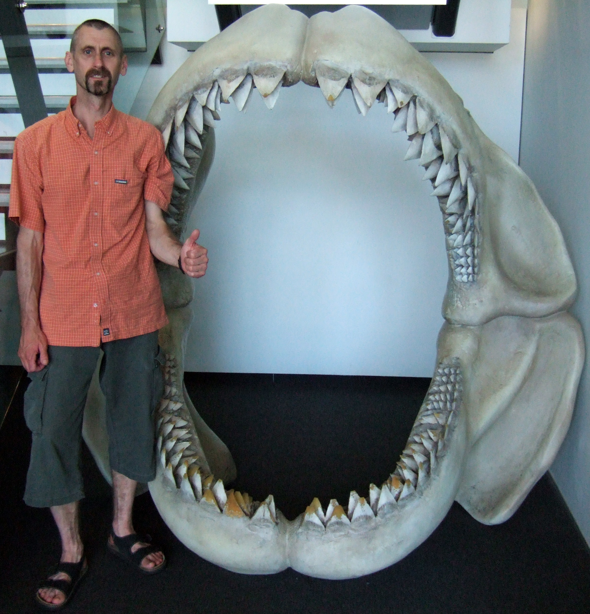 Blue+whale+size+compared+to+megalodon