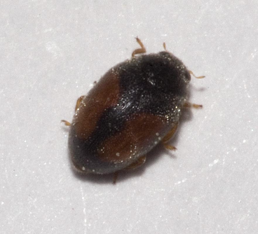 Scymninae wikipedia - Insetti piccolissimi neri nel letto ...