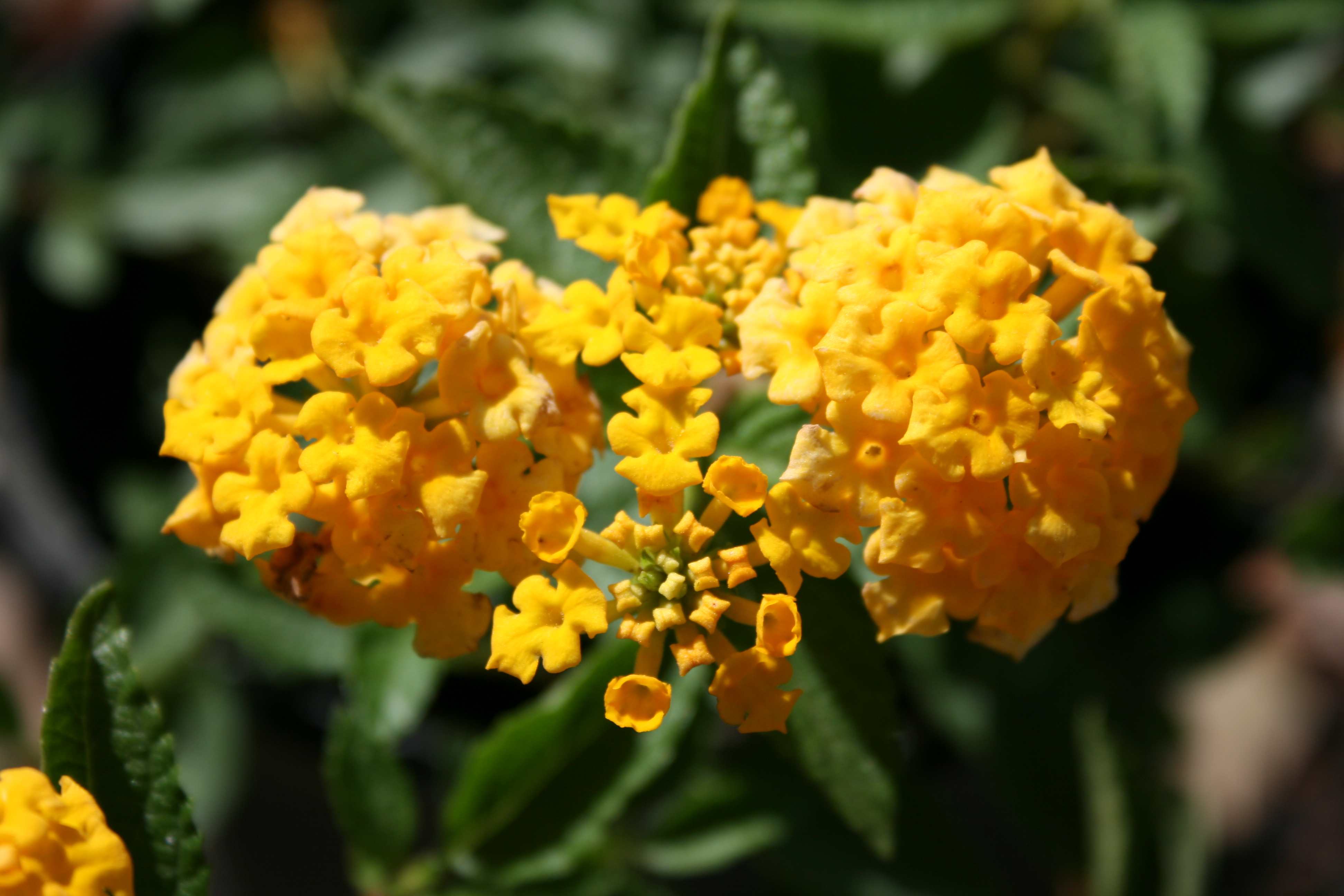 File:New Gold Lantana Flower Digon3.JPG