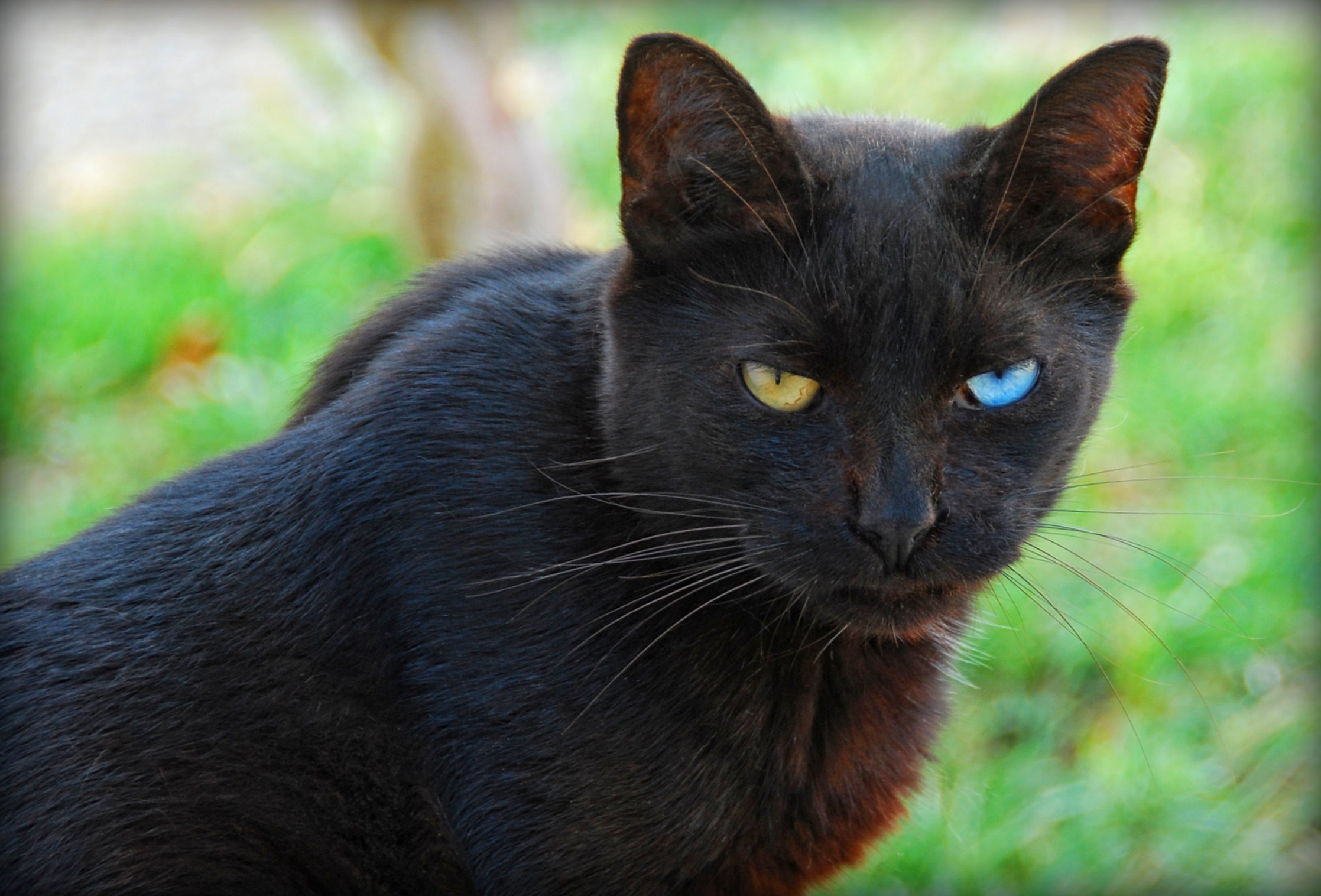 File Odd Eyed Black Cat Looks At Viewer Jpg Wikimedia Commons