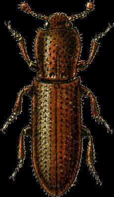 Oxylaemus variolosus Jacobson
