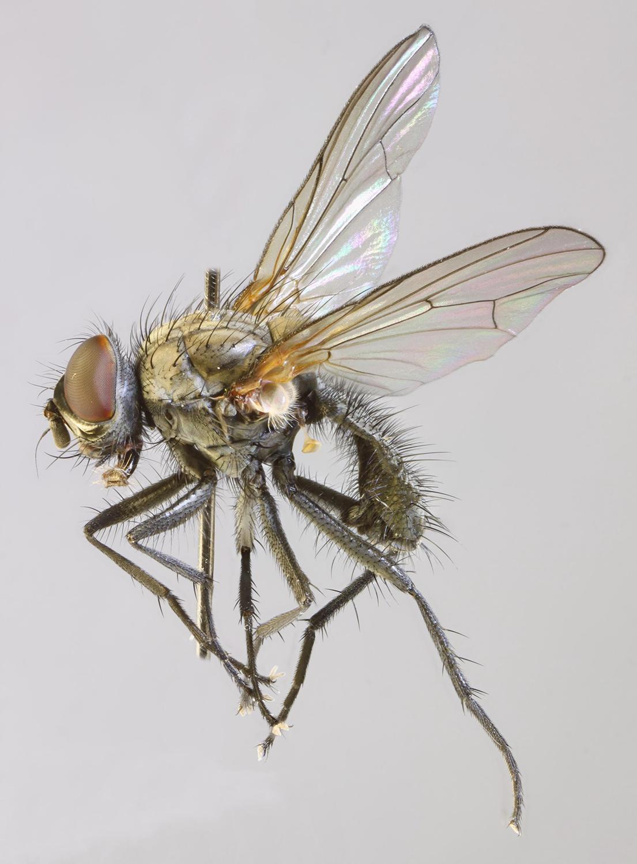Taxonomy - Anthomyiidae (FAMILY) - uniprot.org