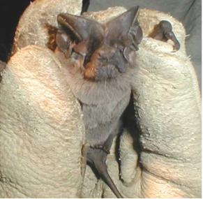 Pocketed free-tailed bat species of mammal