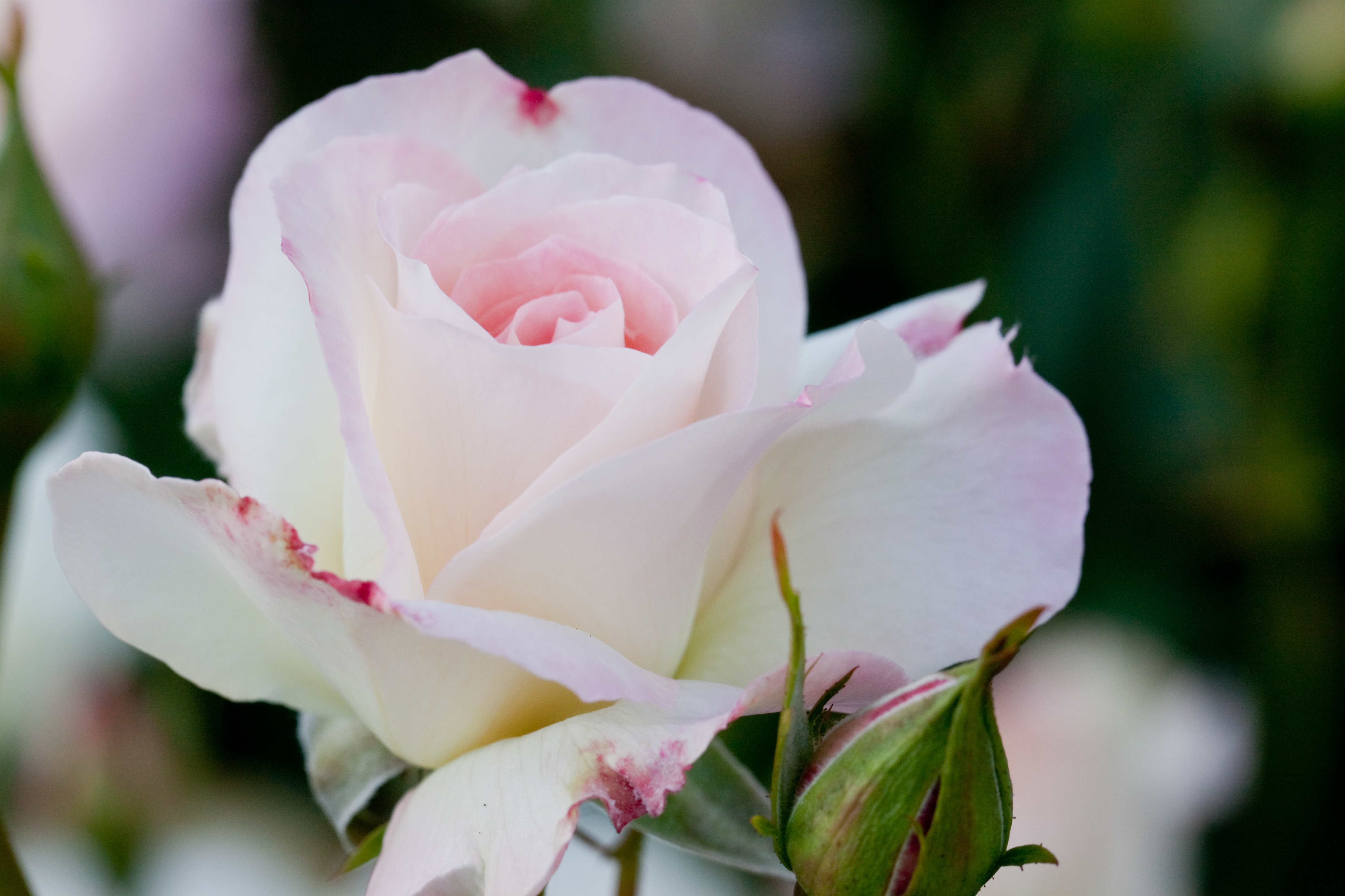 Роза матильда фото и описание