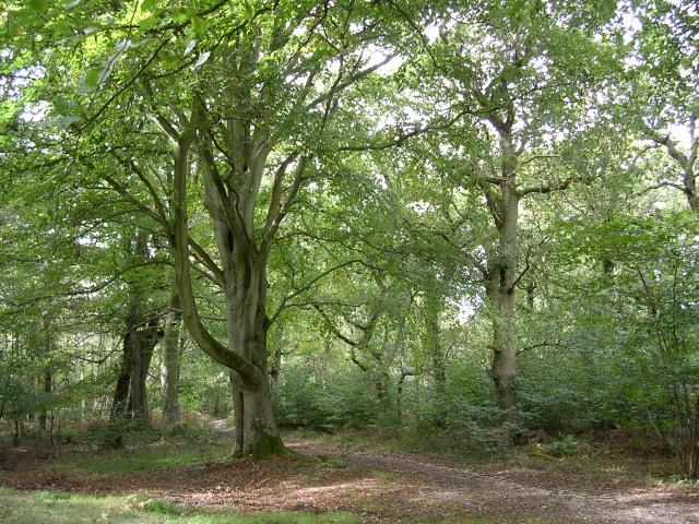 Roydon Woods nature reserve, New Forest - geograph.org.uk - 60470